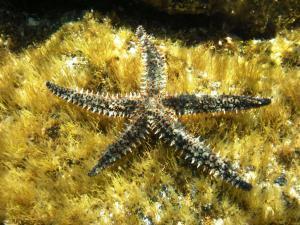 Колючая морская звезда (Marthasterias glacialis)