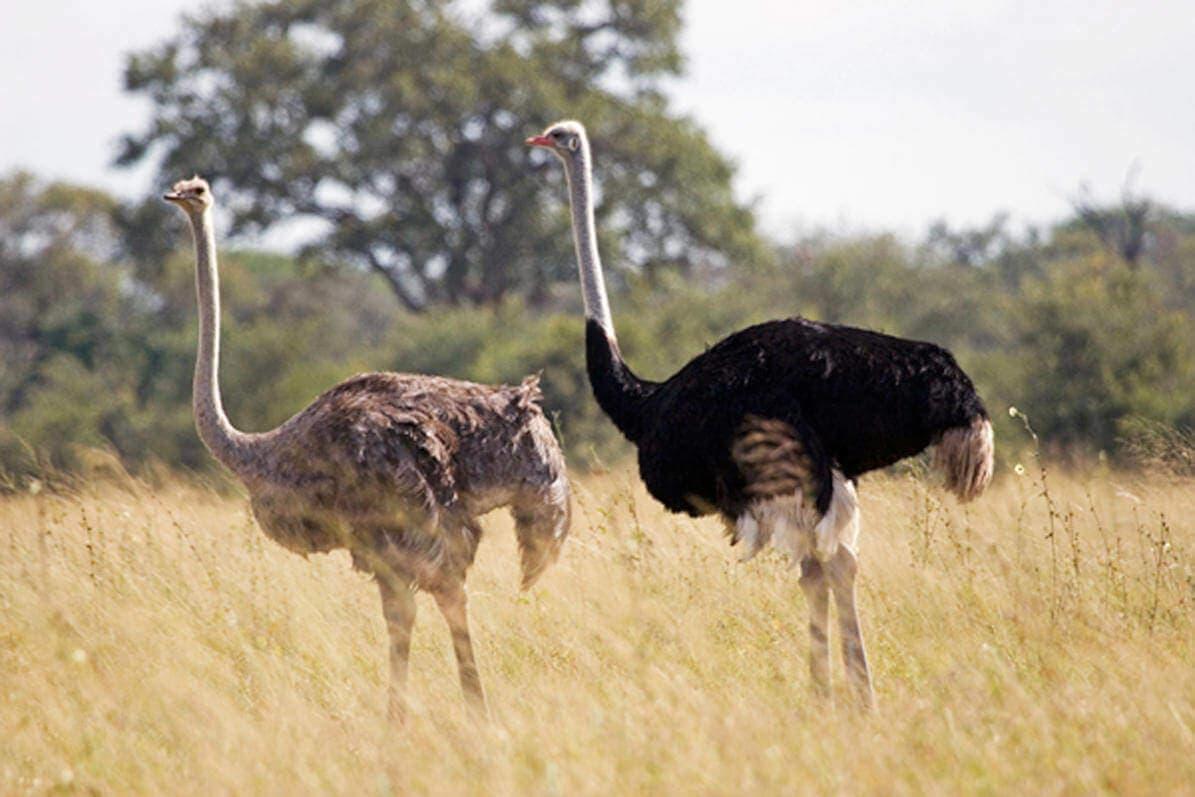 Оперение страусов