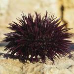 Морской фиолетовый еж (Paracentrotus lividus)