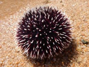 Морской еж луговой (Spaerechinus granularis)