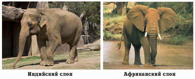 Африканский и индийский слон