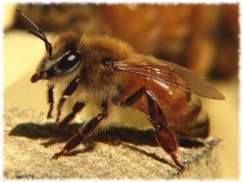 Африканская медоносная пчела