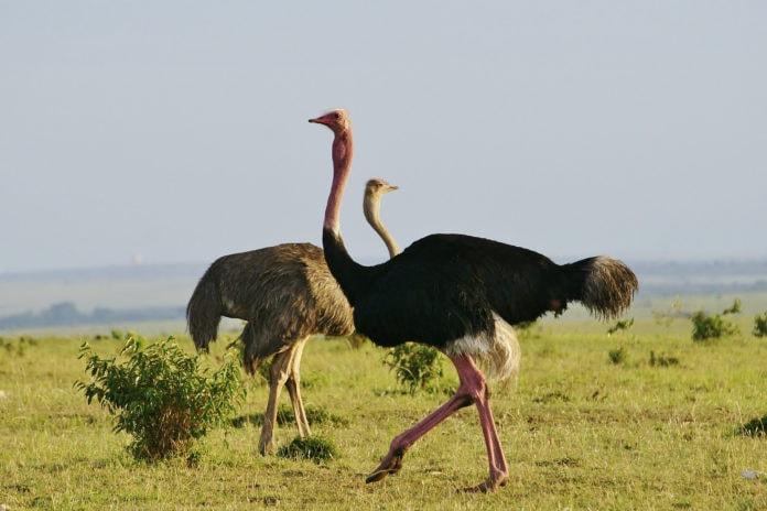 Интересные факты об африканском страусе