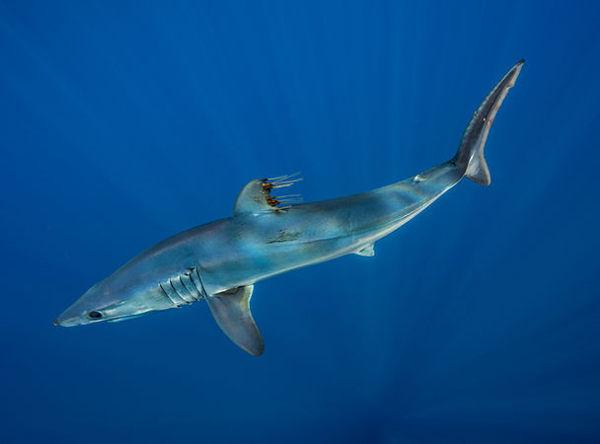 Мако: самая быстрая акула в мире