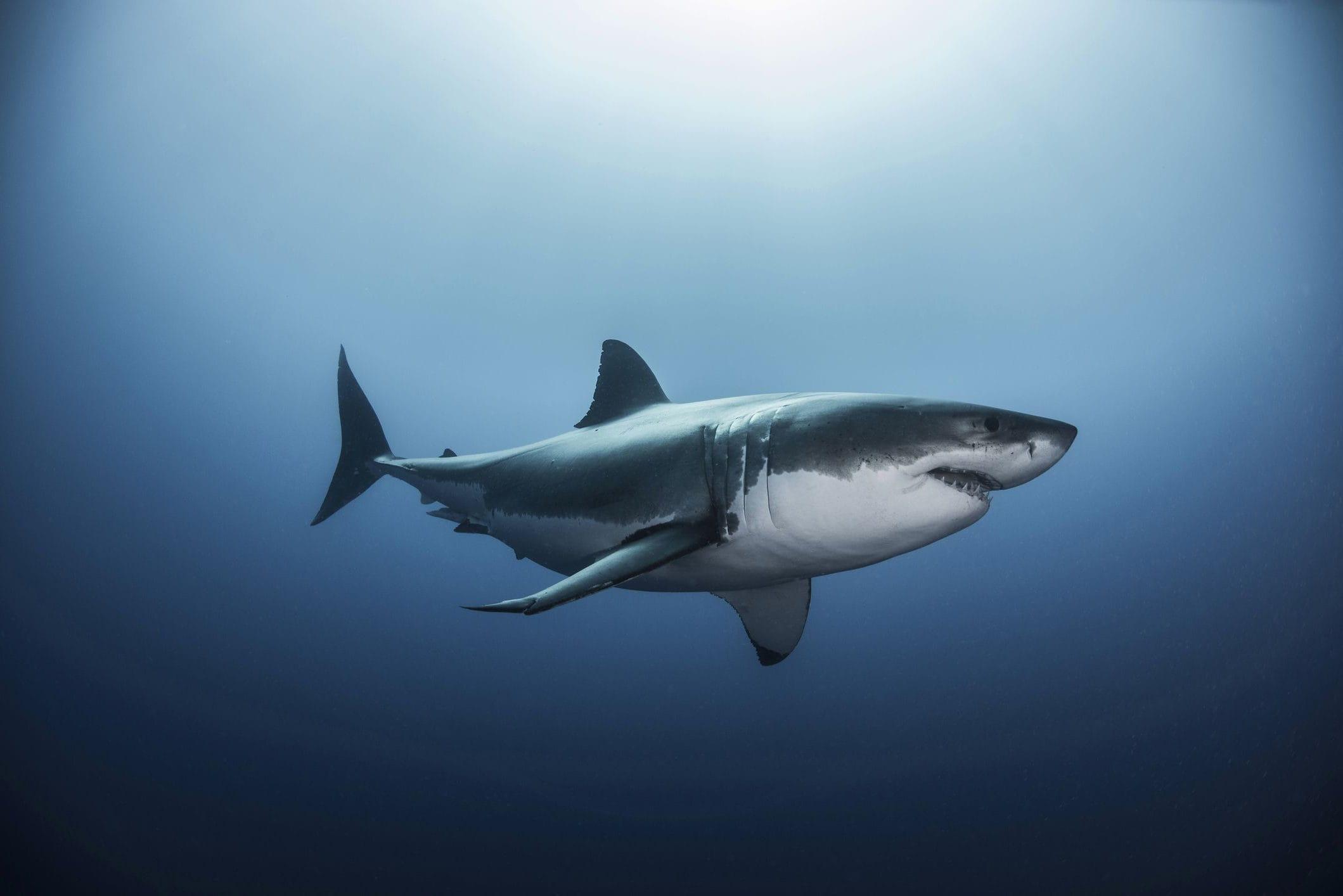 Какие виды акул водятся в Черном море?