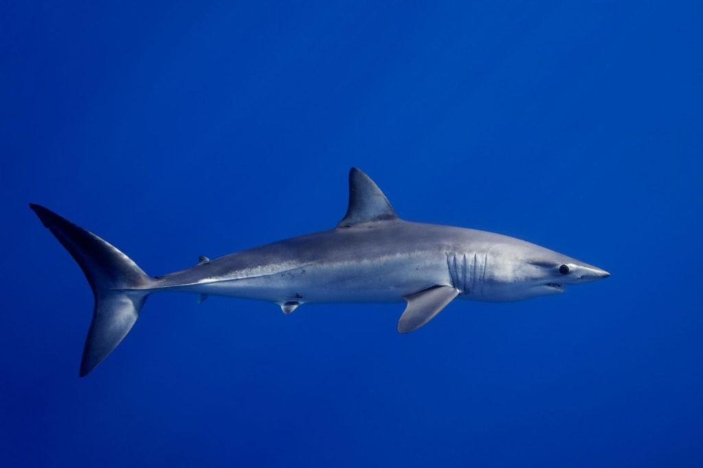 Акула Мако: самая быстрая акула в мире