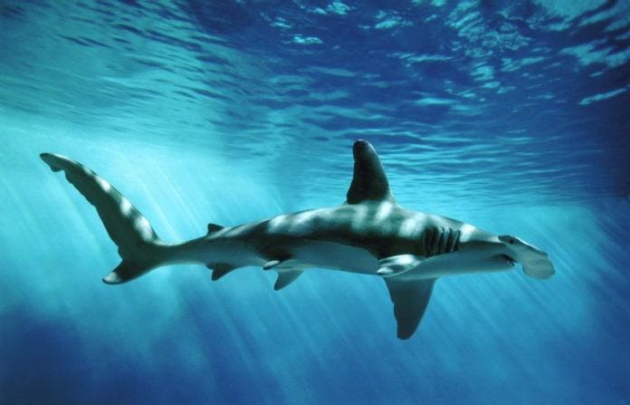 Самые опасные акулы Средиземного моря