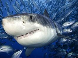 Акулы – описание, виды, чем питаются, особенности, сколько живут, где обитают, фото и видео