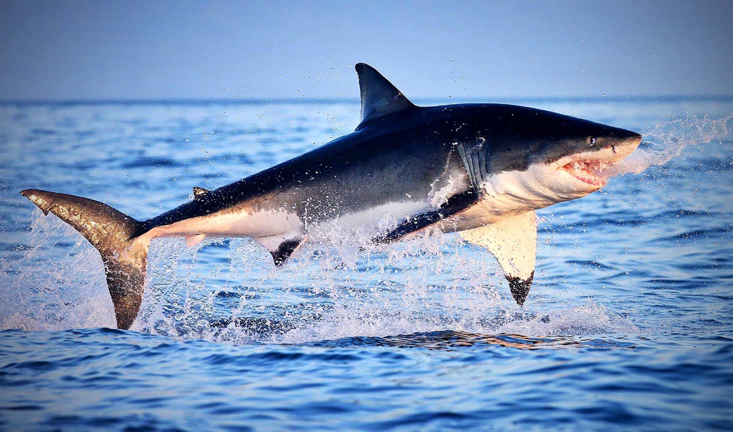 Акула выпрыгивает из воды