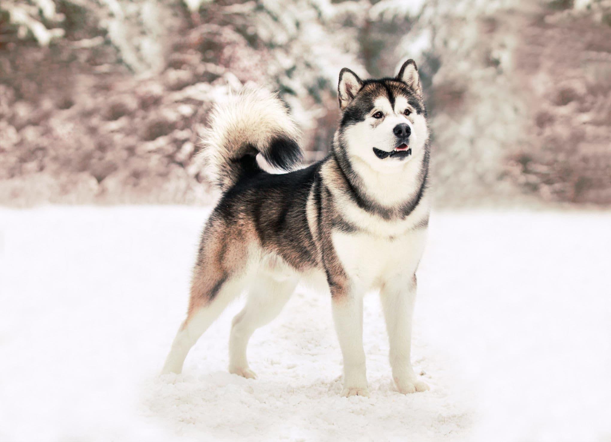 порода собак маламут в картинках сказать, что это