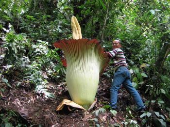 Аморфофаллус гигантский