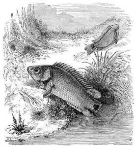 Рыба – Анабас