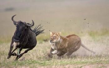 Должна ли антилопа обгонять льва?