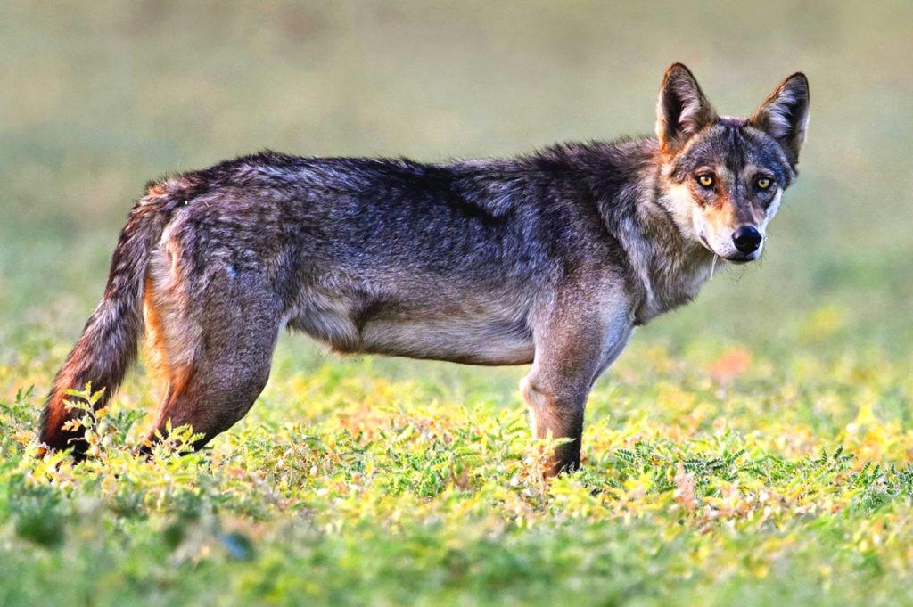 Азиатский волк