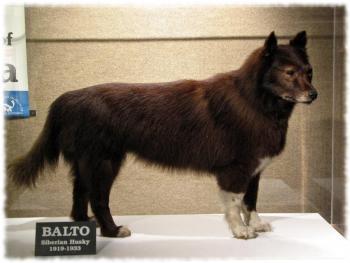 Чучело ездового пса Балто