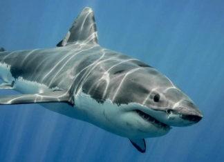 Самые большие акулы в миреСамые большие акулы в мире