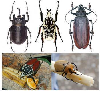 Самые большие жуки в мире
