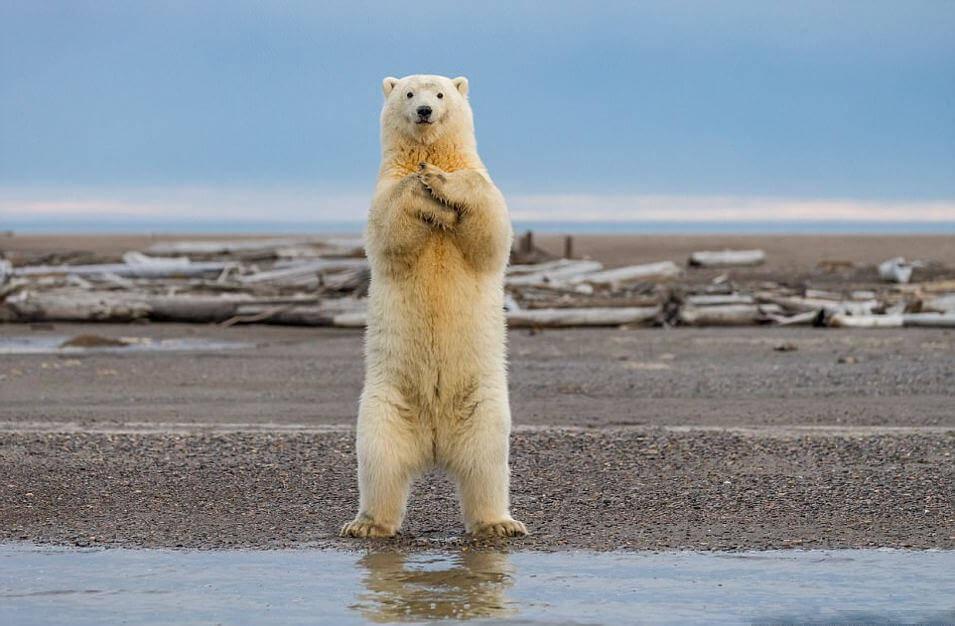 Белый медведь на задних лапах