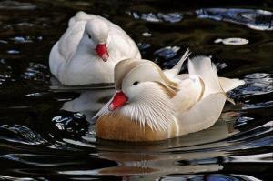 Белая утка мандаринка