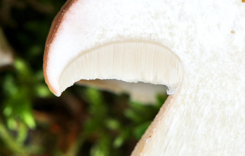 Идеально белая мякоть гриба в разрезе