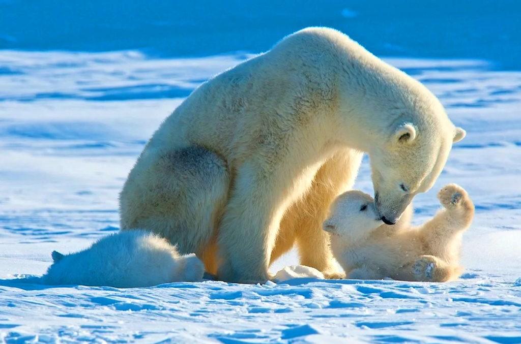 Белые медведи в арктической пустыне