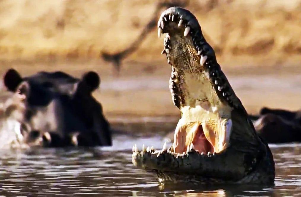 Бегемот и крокодил