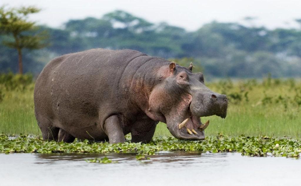 Обыкновенный бегемот