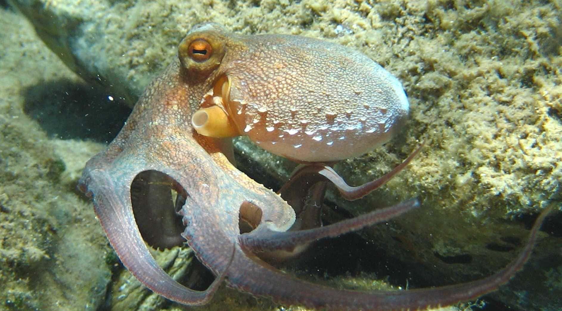 Обыкновенный осьминог