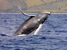 Биологи узнали, как киты могут незаметно подкрадываться к косякам рыбы