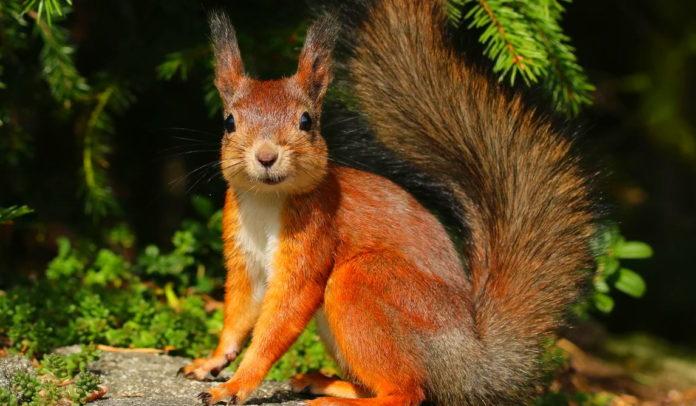 Белка – описание, особенности, ареал, размножение, виды, питание, образ жизни, фото и видео