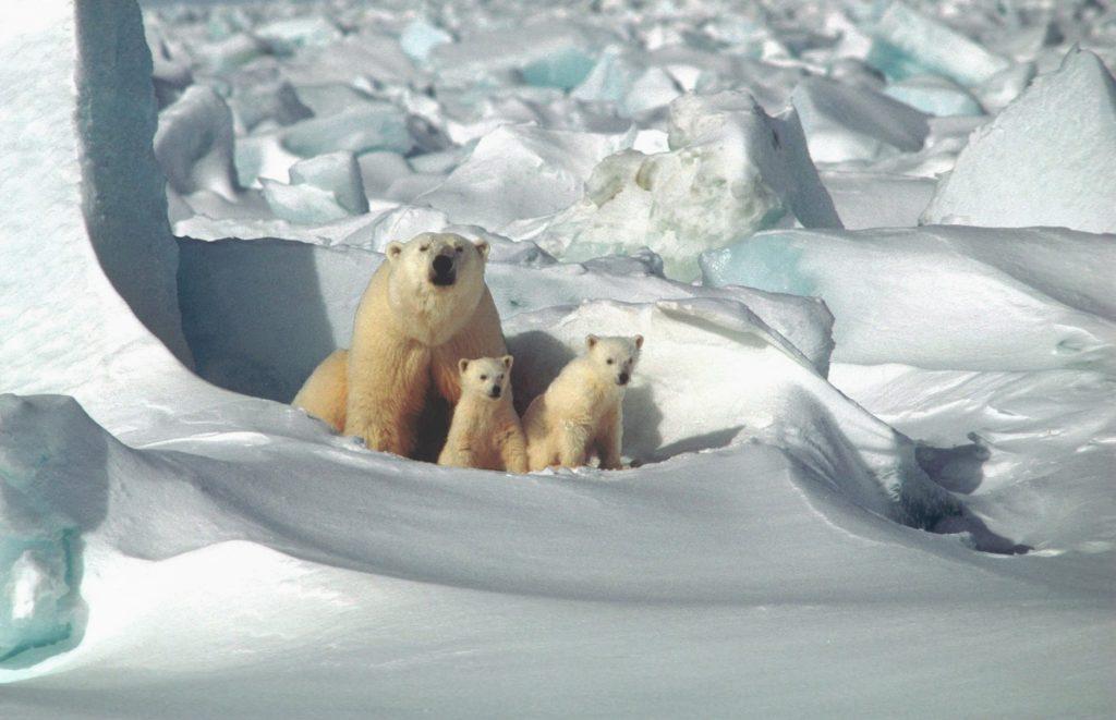 Белая медведица с детенышами