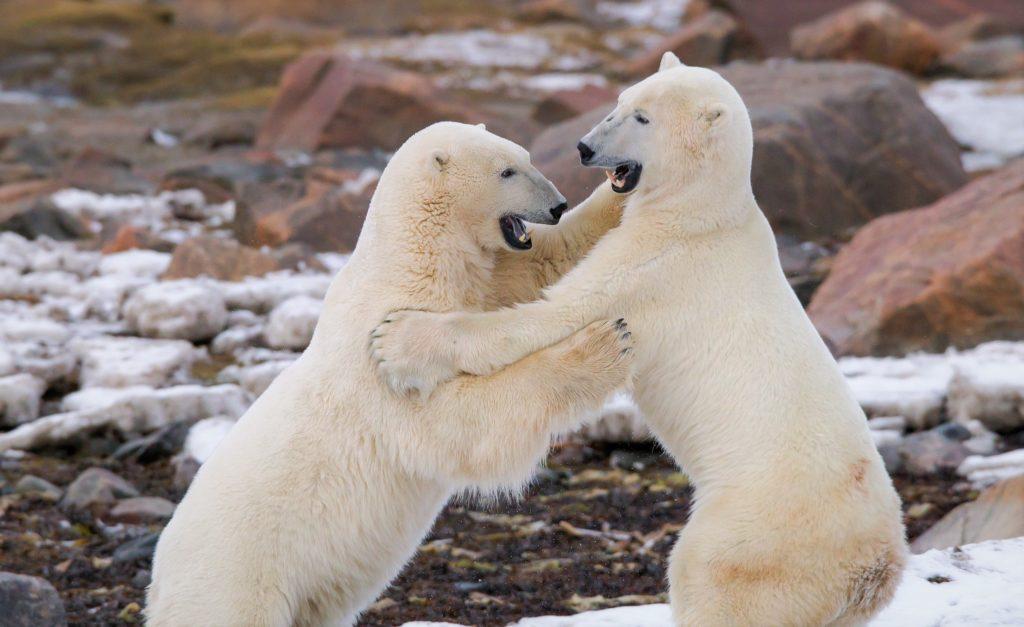 Во время драки белые медведи часто встают на задние лапы
