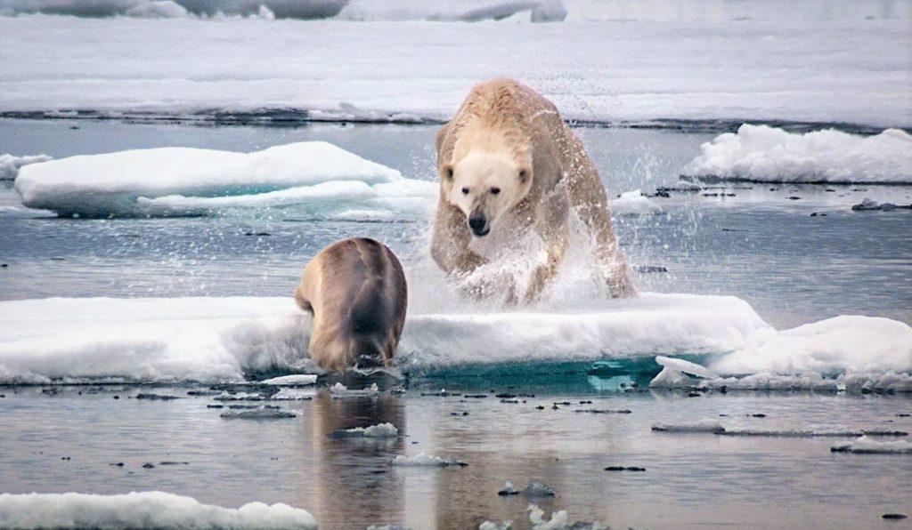 Белый медведь на охоте