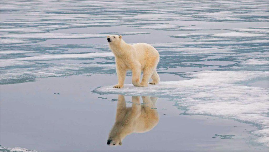 Льды в местах, где проживают медведи, постепенно тают из-за смены климата