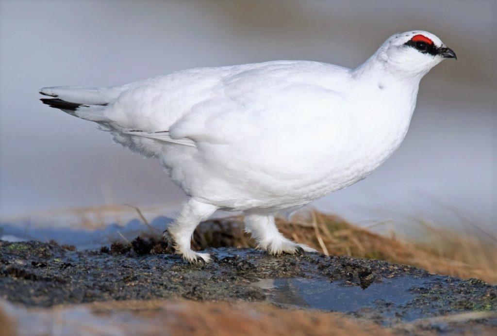 Большая белая куропатка