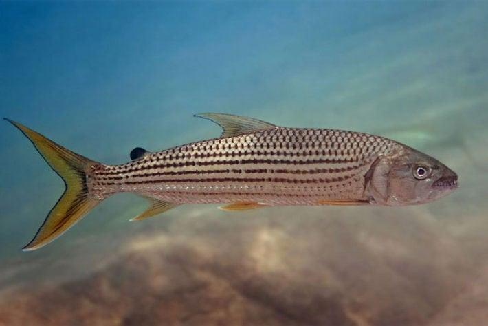 Большая тигровая рыба