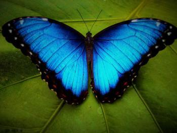 Бабочка Морфо (лат. Morpho)