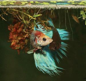 Гнездо бойцовской рыбки