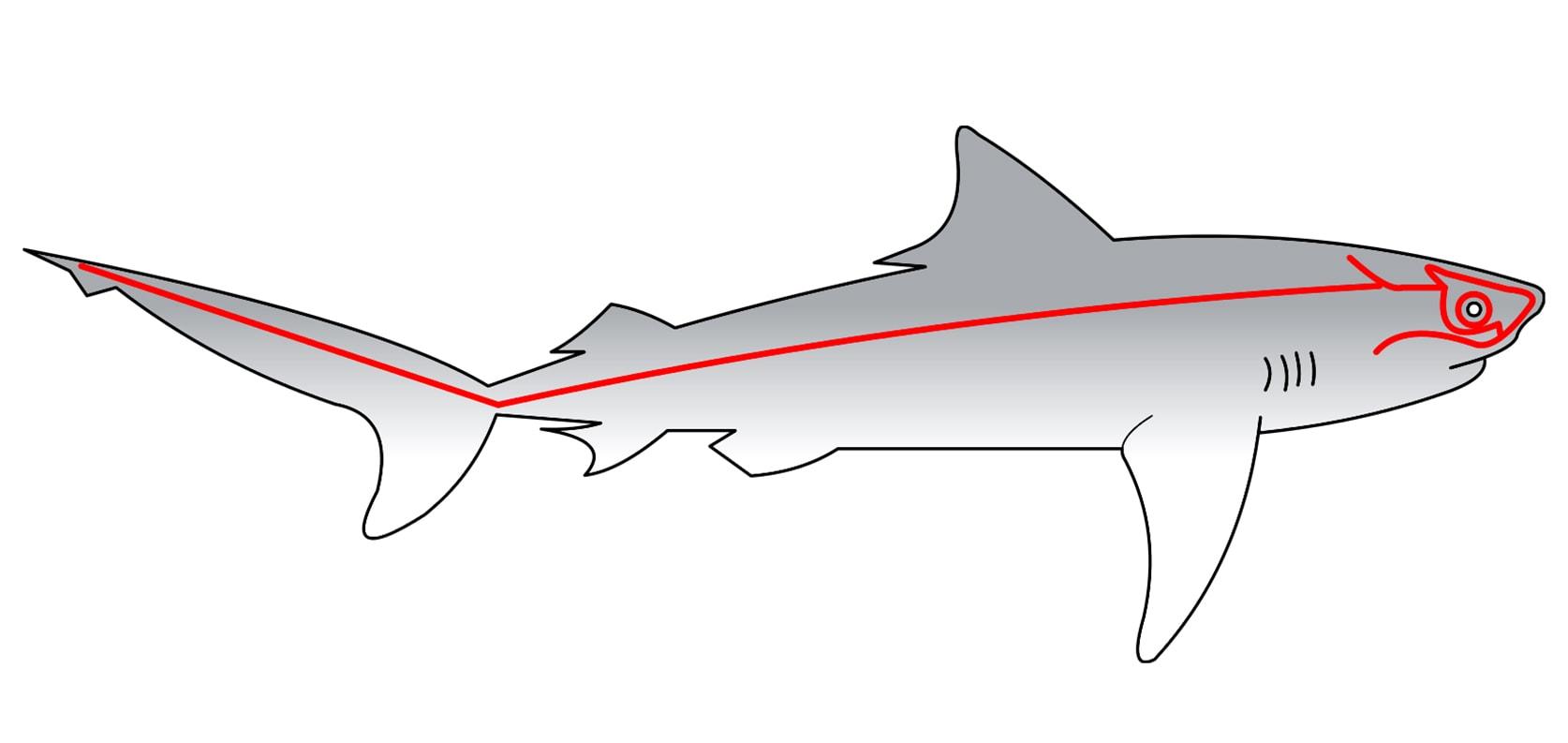 Боковая линия акулы