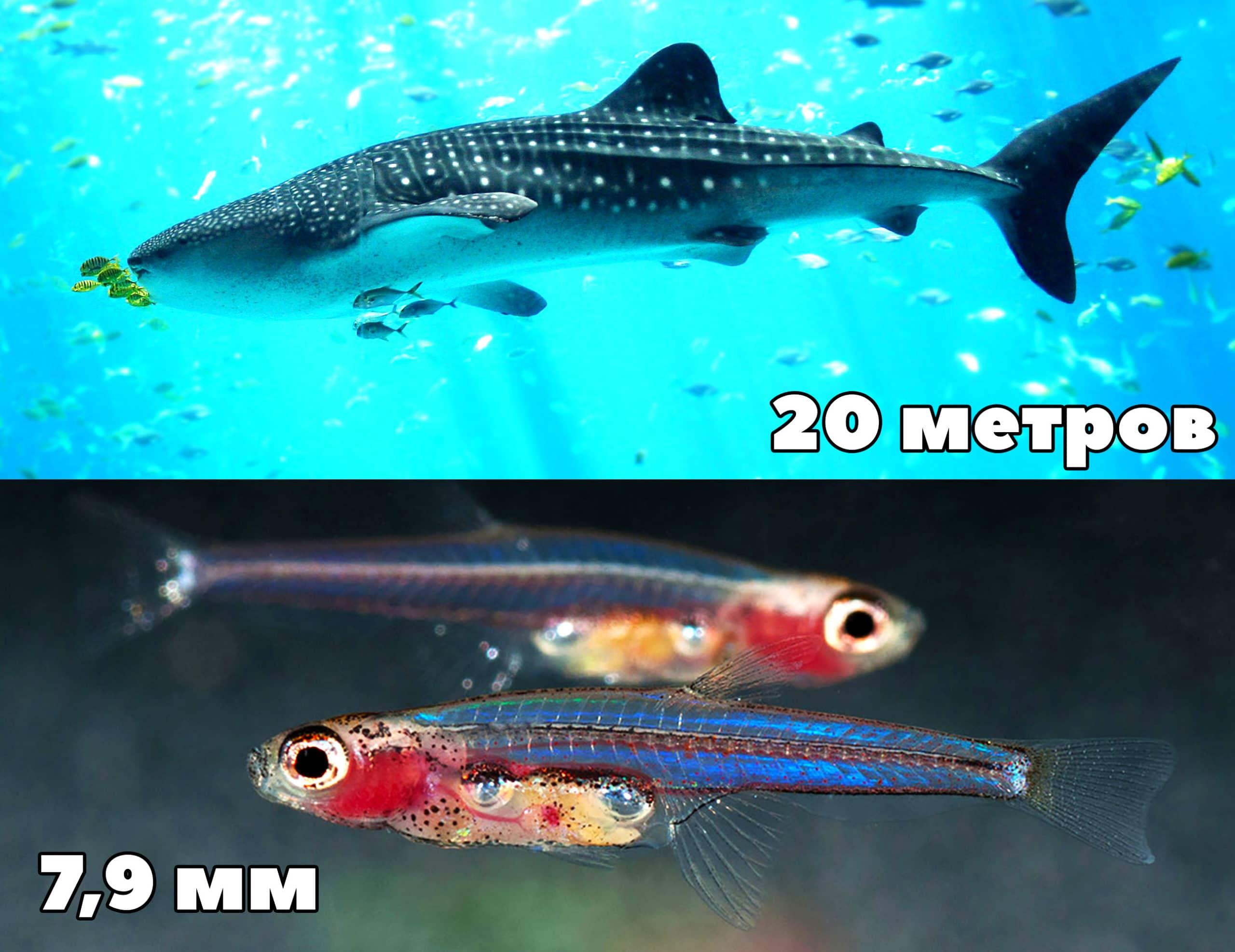 Самая маленькая (Paedocypris progenetica) и самая большая (китовая акула) рыба