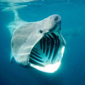 Пасть пелагической большеротой акулы