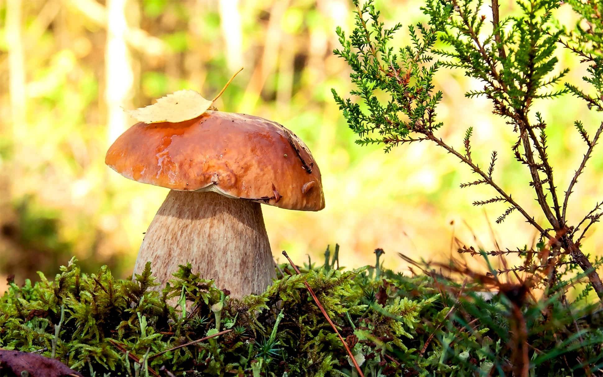 Белый гриб: описание, как выглядит, где растет, разновидности, фото и видео
