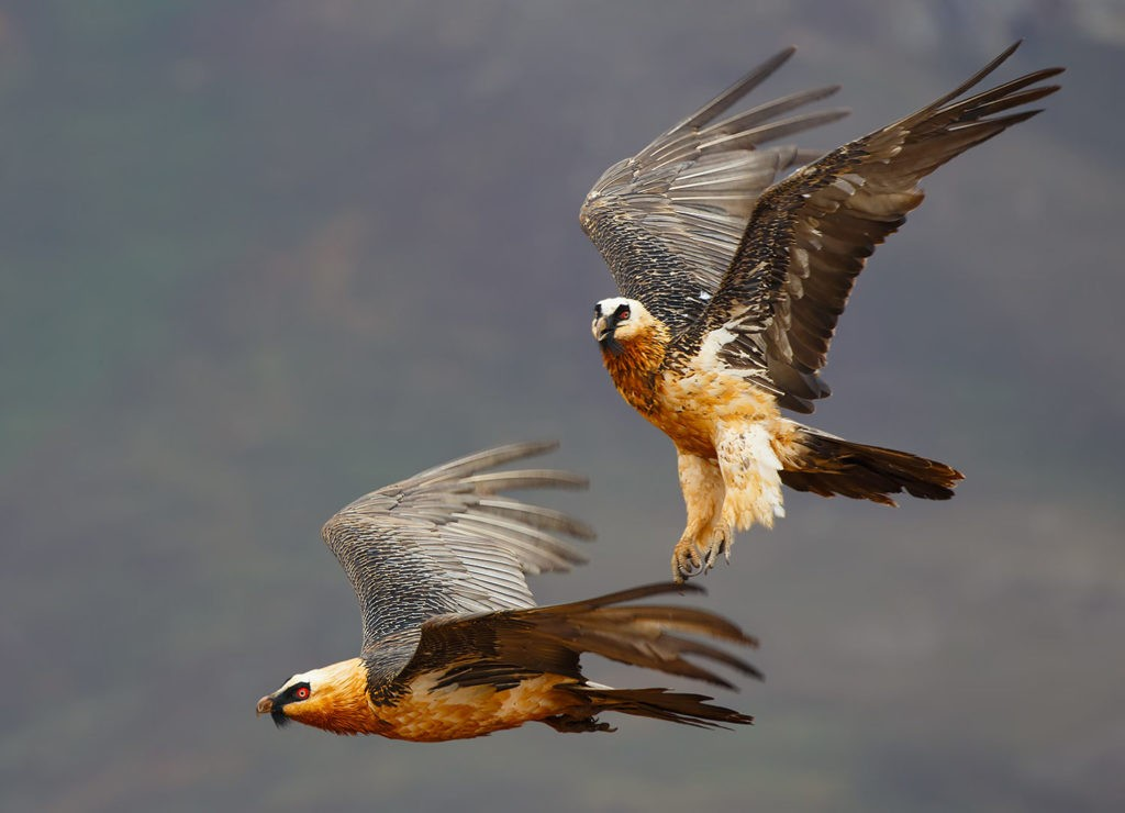 Бородач - птица