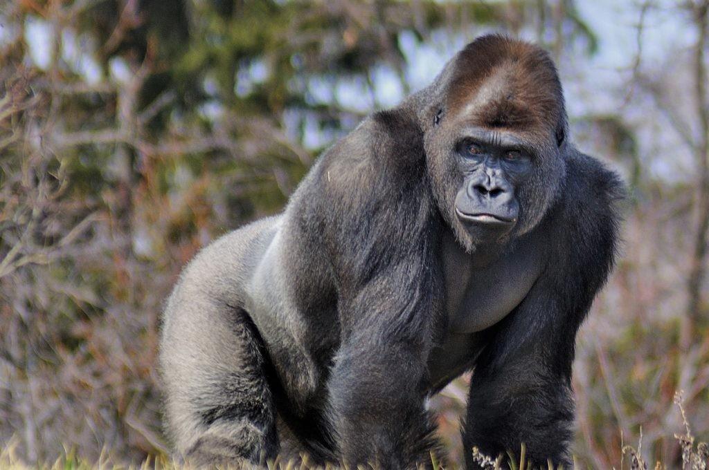 Береговая горилла