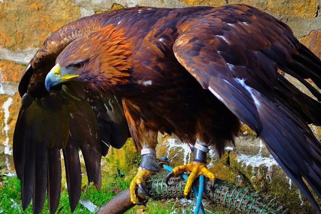 Беркут - хищник, способный нападать на сов