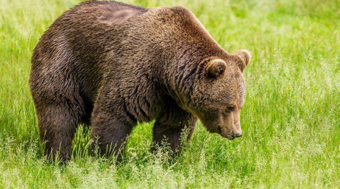 Бурый медведь - самый многочисленный вид