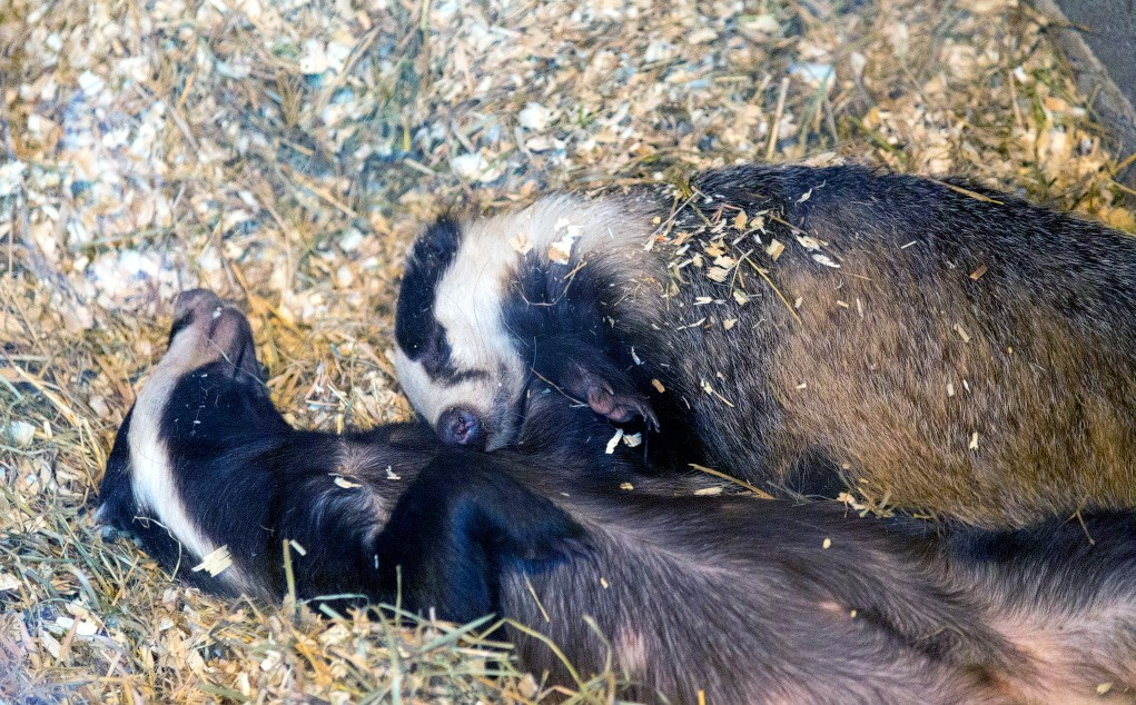 Барсуки спят в специально подготовленном месте