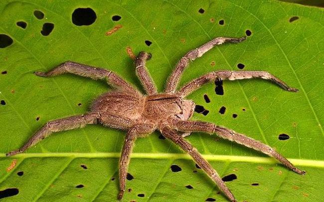 Бродячий паук (странствующий)