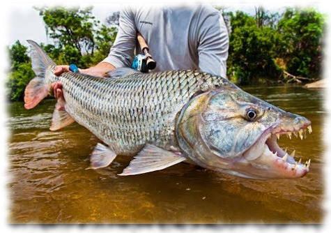 Большая тигровая рыба, или гигантский гидроцин