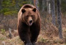 Самые большие виды медведей